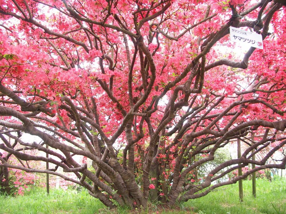 Những cây đỗ quyên cổ thụ hàng trăm tuổi
